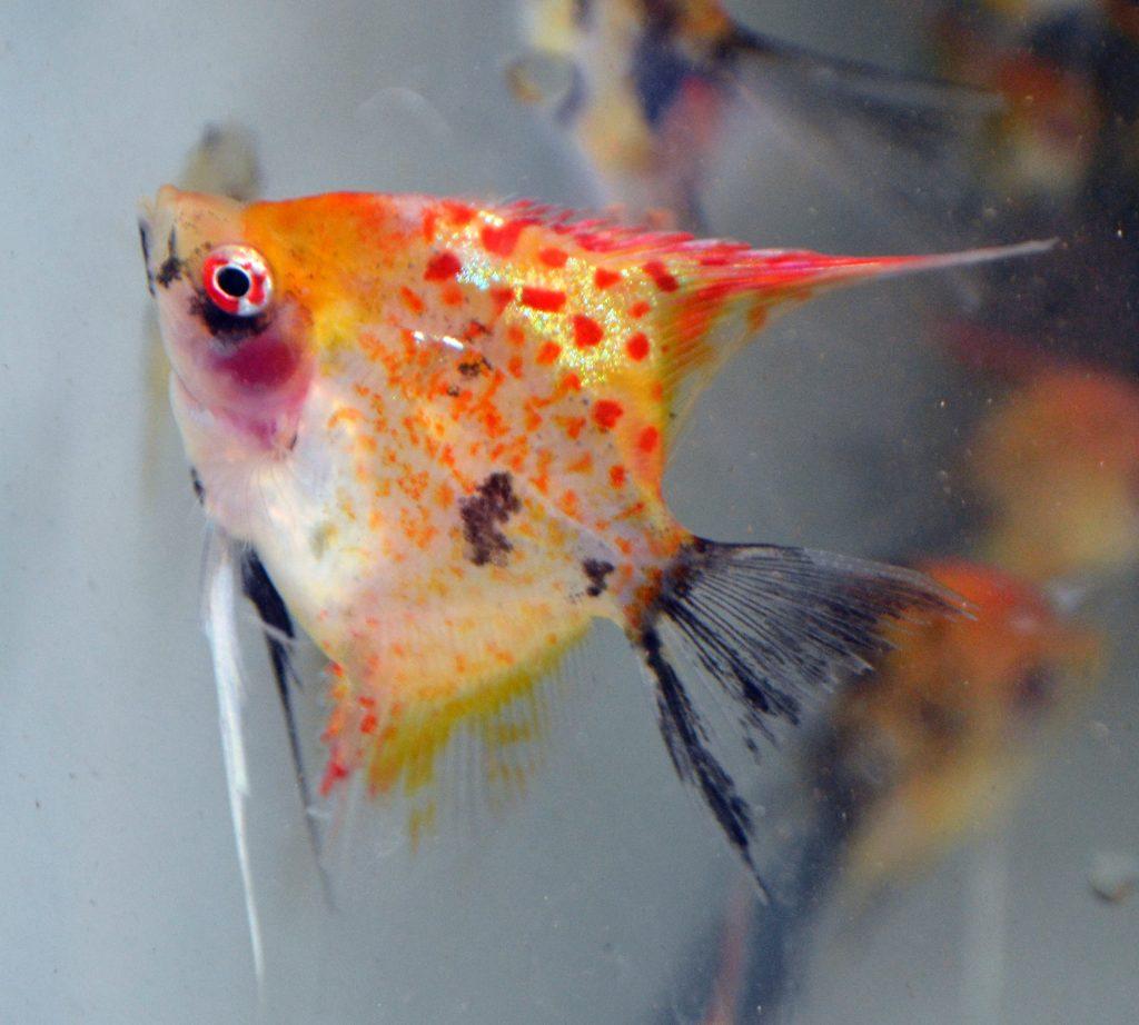 Angelfish Care