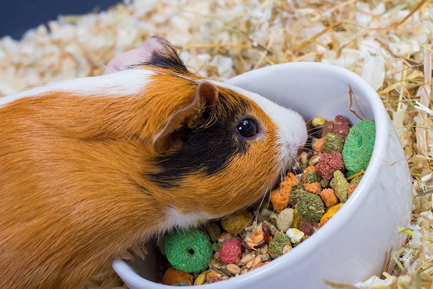 Guinea Pig Nutrition