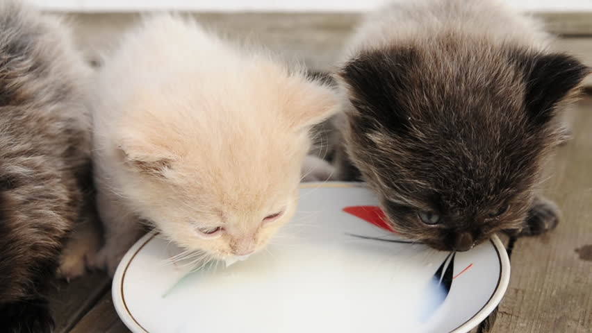 Kitten milk powder