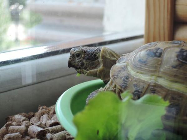land turtle care