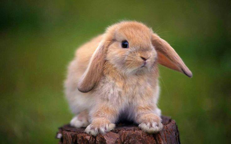 rabbit species