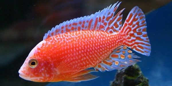 Cichlid Fish Feed