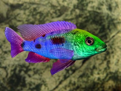 Cichlid Fish Feed Varieties | Cichlid Fish Care and Nutrition