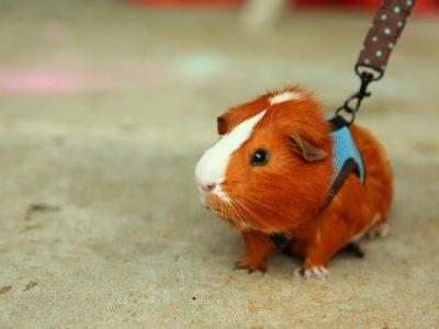 Guinea Pig Care | Guinea Pig Nutrition