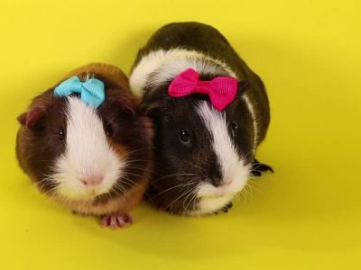 Mistakes in Guinea Pig Care | How Should Guinea Pig Care Be?