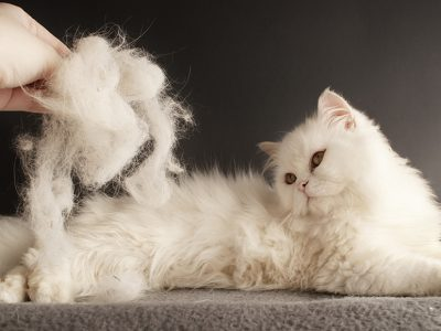 Hair Loss in Cats and Precautions to Be Taken