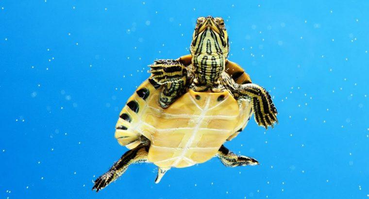 Hibernation in Aquatic Turtles – Aquatic Turtles Care