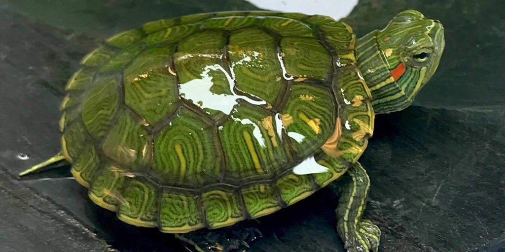Hibernation in Aquatic Turtles