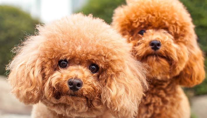 Ornamental Dog Breeds |  Tiny dogs