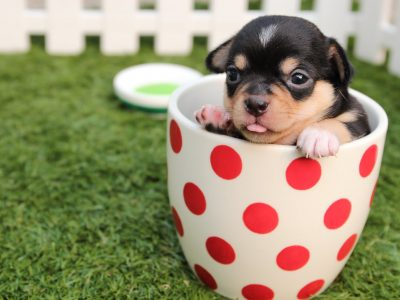 Dog Breeds Small | The smallest dogs in the world
