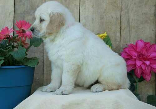 sweet dreams golden retrieve puppy ready now
