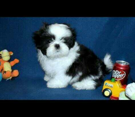 sweet dreams shihtzu puppies for sale