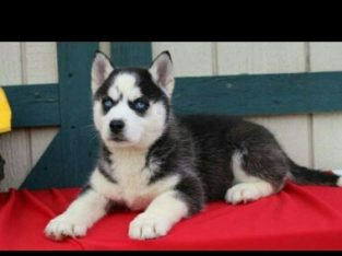 blue eyes husky puppies for sale