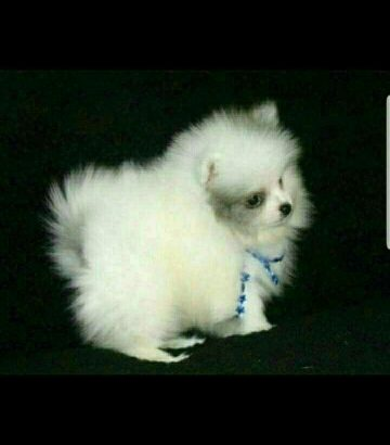 white pomerian puppies ready now