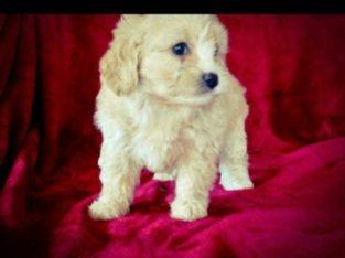 Beautiful super star cavapoo puppies