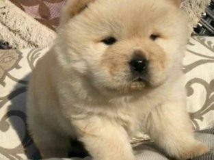 chow chow puppy for sale for a good home