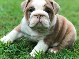 English Bulldog puppies ready for sale