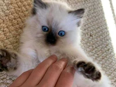 Ragdoll kitten 10 weeks old Text# 619-377-9221