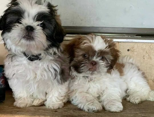 lovely male and female shihtzu puppies available for Rehoming