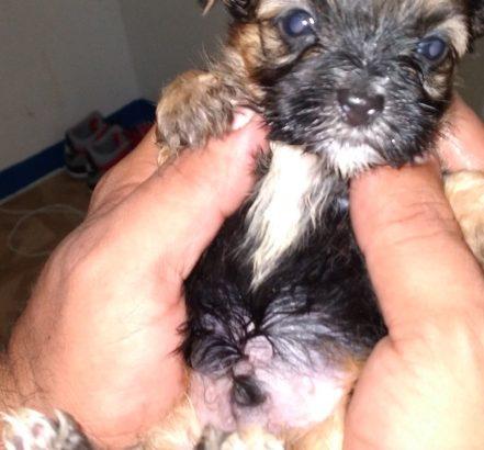 shih tzu puppy need a fuurrrever home malea