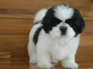 Shih Tzu puppies available for adoption