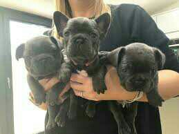 French Bulldog puppies available for sale.