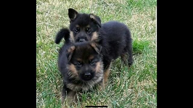 German Shepherd puppies available for sale.