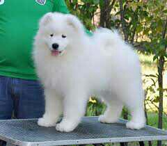 Lulu Pomeranian Mini Toy Puppies Gift for free adoption,