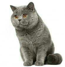 Adorable British Shorthair Kitty Gift,