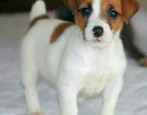 Jack Russell puppies Gift Jack Russell puppies,