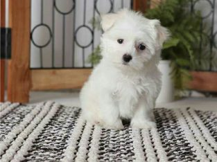 Bichon Maltes puppies Gift Mini Toy Bichon Maltes puppies.