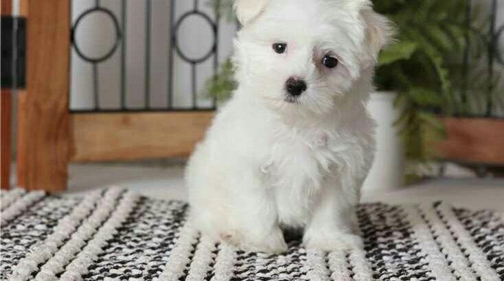 Bichon Maltes puppies Gift Mini Toy Bichon Maltes puppies.
