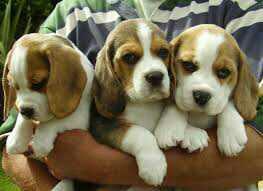 Beagle puppies Gift,