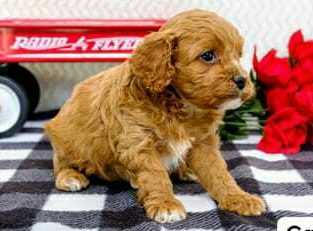 Lovely sweet cavapoo puppies ready for sale