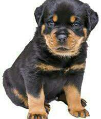 sweet rottweiler puppies for sale