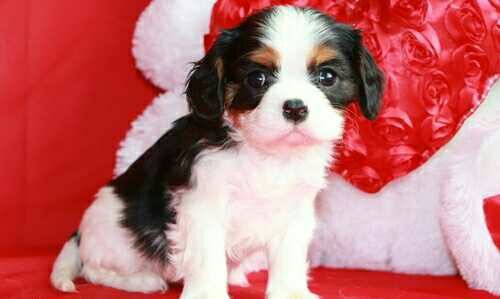 handsome beautiful Cavaliers king Charles puppy