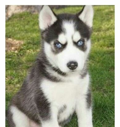 blue eyes husky puppies ready now for sale