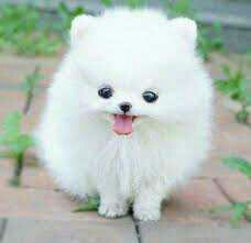 Lulu Pomeranian Mini Toy Puppies Gift,