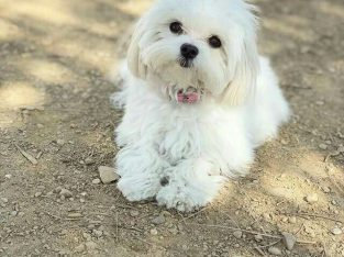 Bichon Maltese for free adoption