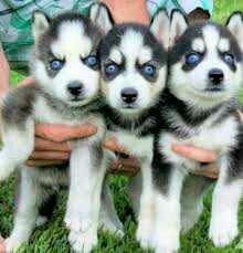 Gift Precious Siberian Husky Puppies.