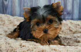 Yorkshire Terrier Mini Toy Puppies For Sale.