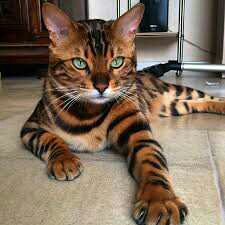 Bengala Kittens Fantastic Gift,