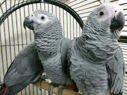 Parrots Yaco Papillero gift with excellent pedigree,