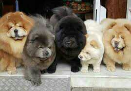 Chow Chow Puppies Litter Gift,
