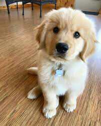 Impressive Golden Retriever Puppies gift for sale