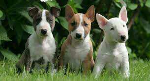 Jack Russell Puppies Gift,