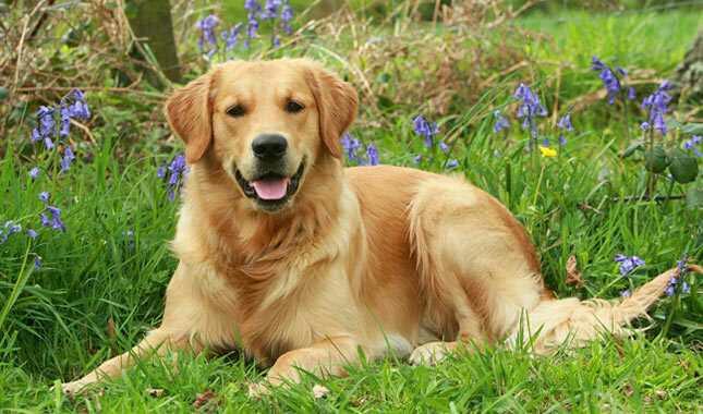 Gorgeous Labrador Puppies Gift,