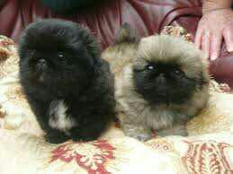 Pekines puppies Gift,