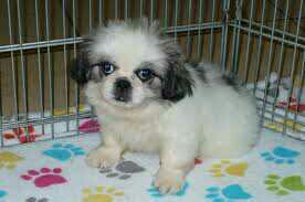 Pekines puppies Gift,