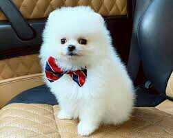 Lulu Pomeranian Mini Toy Puppies Gift for sale